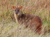 Back at Chepu Lodge we found another endangered species, the Pudu, the world\'s smallest deer