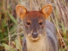 Okay, this may require some imagination... but does this little pudu look a bit like Wallace (of \'Wallace and Grommit\' fame)?