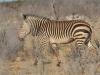 Hartmann zebra