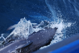 A dusky dolphin rides the bow wave of our whale-watching boat at Kaikoura