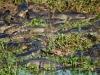Many caiman