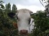 Curious bovine