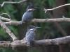 Kingfishers-001