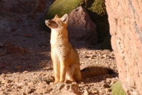 The Culpeo Fox, our last new mammal spotted in Chile and a lucky find