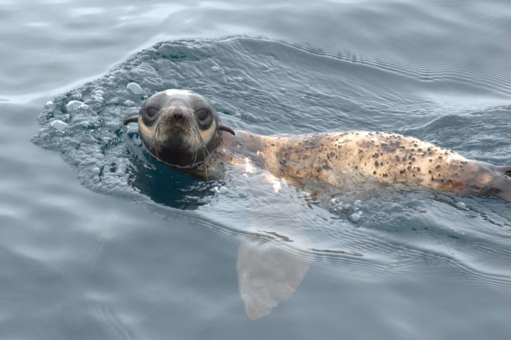 Northern fur seal loner