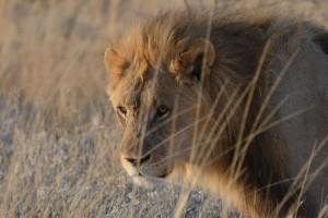 Lion of Etosha